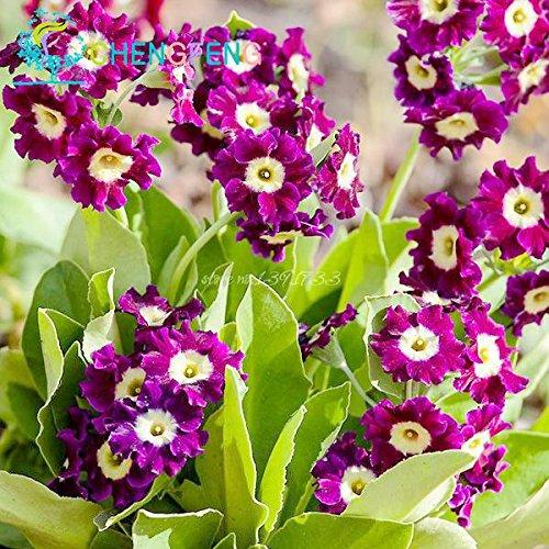100pcs Colorful Seeds Primula malacoides Bonsai pot arc Fleurs Primrose semences Chine en plein air Plantes rares