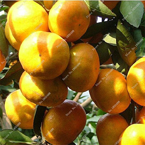 Bonsai orange frais semences Tangerine Citrus semences NO OGM Mini Arbre Balcon Patio pot arbres fruitiers drôle Plante en pot 20 pièces/lot