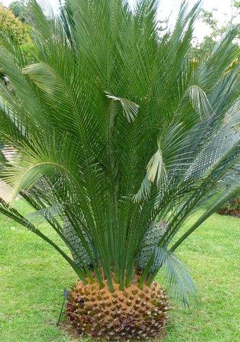 TROPICA-Australischer Palmfarn (Macrozamia communis) - 2 grosse Samen