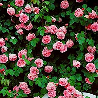 Brand New! 1 Pack, 300 Seeds / Pack, Rare Pink Climbing Rose Seeds, Very Beautiful Ornamental Climbing Flowers
