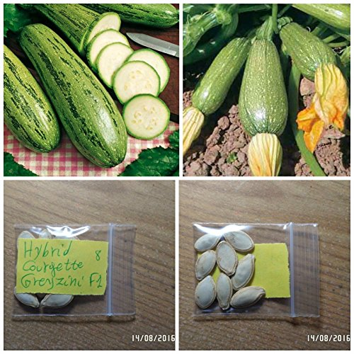 Courgette '' Greyzini F1 '' HYBRIDES ~ 8 Top Graines - très productive - Early