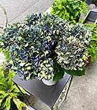 紫陽花 父の日 母の日ギフト 誕生日プレゼント 新築祝い あじさい 鉢植え アジサイ 紫陽花 パープル5寸鉢植え