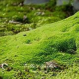 20pcs Sagina subulata Semi irlandese Moss Semi fai da te Giardino Ground Cover creativo delle piante