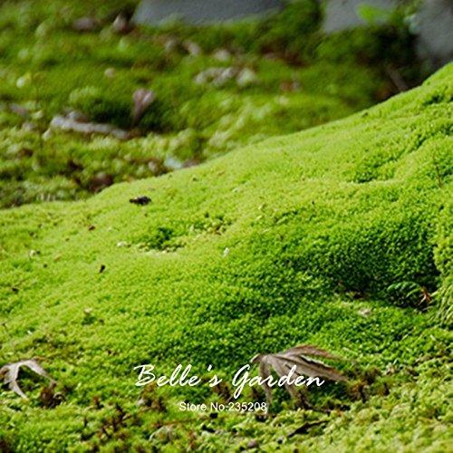 20pcs Sagina subulata Semillas Semillas musgo irlandés Planta creativo cubierta de tierra...