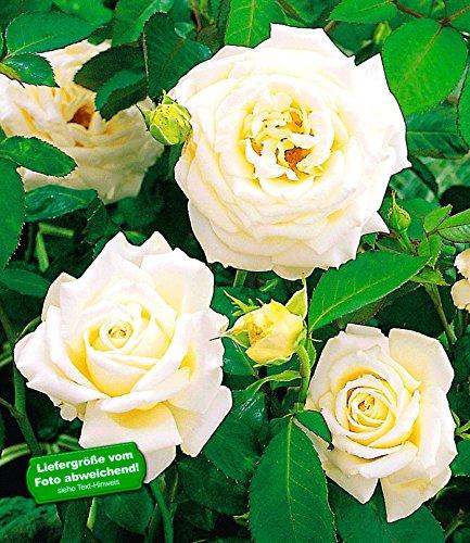 BALDUR-Garten Delbard® Kletterrosen 'Blanche Colombe®', 1 Pflanze Kletterpflanze duftend