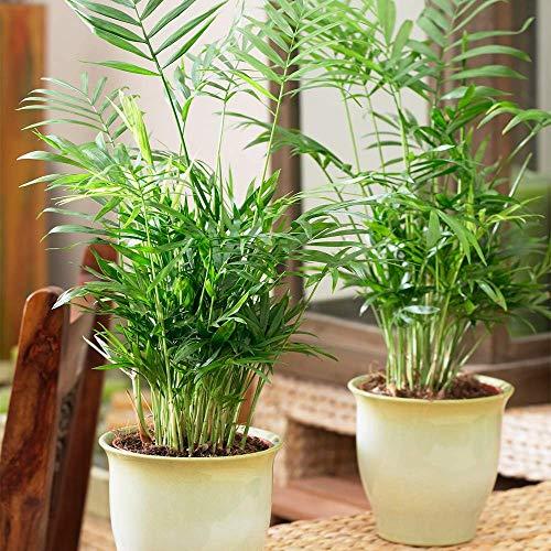 Chamaedorea Elegans Zierpalme – Bergpalme Zimmerpflanze im 13 cm Topf