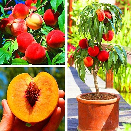 Garden Flower Plant Seeds 5Pcs Sweet Peach Tree Seeds Delicious Fruit Home Bonsai Plant for Garden Decor