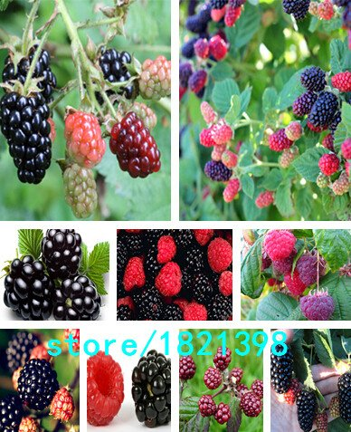 Semences de Moras et Moras semis d'arbres fruitiers de Mora semences de la fruits Nutrition Healthy – 100 pcs
