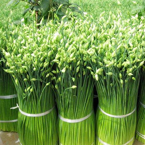 Semences de légume Deliciosas très résistants 100 graines nutritivas semences de puerro de froid et chaleur pour la maison et le jardin no hivernage