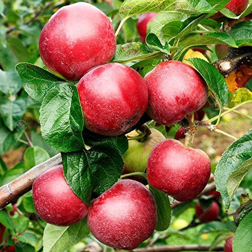 Malus domestica 'Spartan' | Eating Apple Tree | Garden Fruit Tree | 4-5ft (MM106 - Semi Dwarfing)