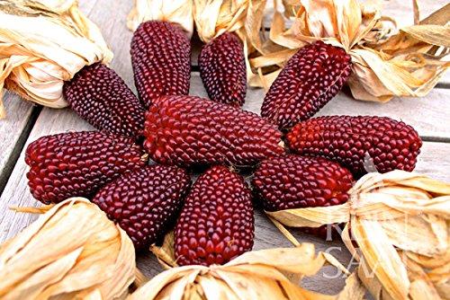 Ziermais Erdbeermais Dekorativer Mais 10 Samenpack von Tradico