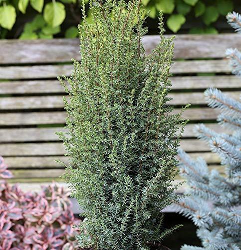 Säulen Wacholder Sentinel 80-100cm - Juniperus communis