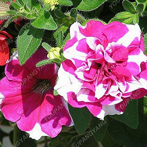 200pcs Bonsai Pétales de fleurs de pétunia couleurs mélangées Double Petunia Hybrid Seeds avec le pack professionnel une décoration pour jardin Autres