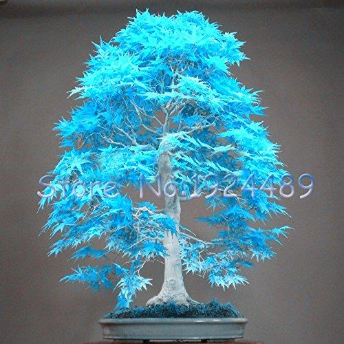 50PCS poudre élégant bleu graines de l'érable japonais mini-graines de bonsaï bonsaï graines d'arbres Maple Seeds bonsaï jardin SeedsAndPlants