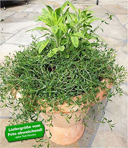 BALDUR-Garten Hängender Duft-Zitronenthymian,3 Pflanzen