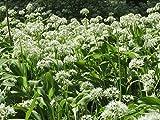 ScoutSeed Semillas de flores de hadas x100 Ramsons, ajo silvestre, Allium Ursinum semillas de flores silvestres