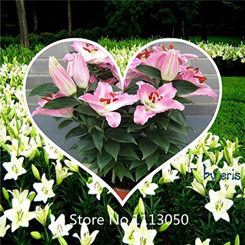 Nouvelle arrivee! Lily Graines de fleurs Graines Casa Blanca Shade Vivaces Plantain Lily Flower jardin Couvre-sol