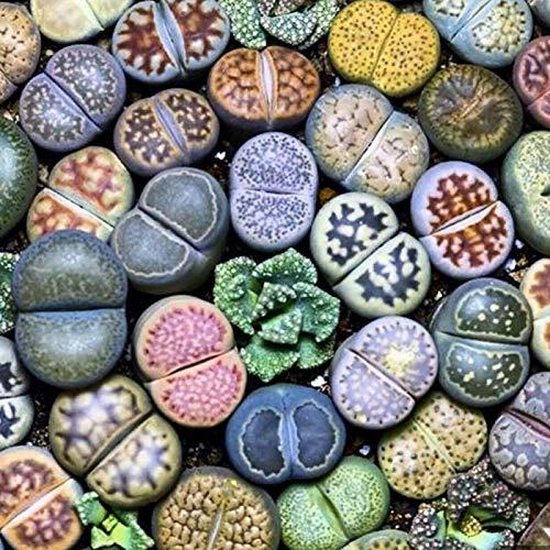 Zaden voor het planten,100st Lithops Zeldzame Levende Stenen Sappige Plant Tuin Bonsai Balkon Decor – Sappige Zaden