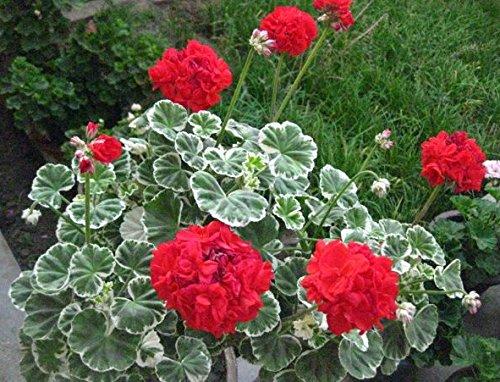 Quatre Saison de plantation Géranium Seeds - 100 / sac Multi Couleurs Jardin Bonsai Graines Fleurs Graines