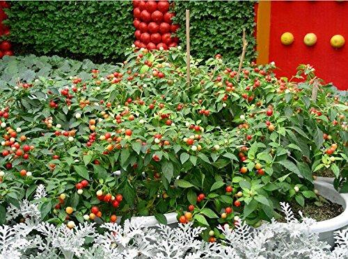 50 graines de légumes et graines de fruits, arbre à poivre