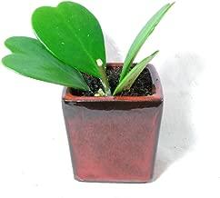 Hoya Kerrii Sweetheart Plant 4'' ceramic pot Plant Live Heart Rare Cute Rare