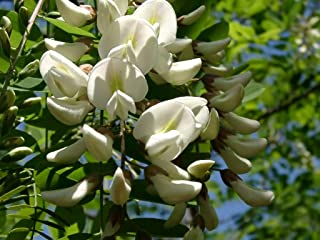 Best flowering locust tree Reviews