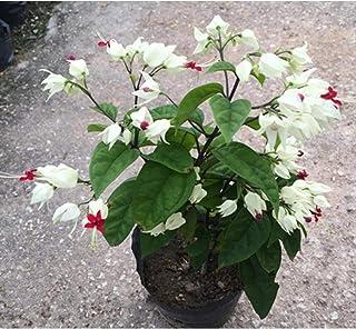 TelDen Garden - 100pcs Fuchsia Flower,Lantern Flower Seeds,Bell Flower, Lantern Begonia,Bonsai Flower Seeds,Plant for Home & Garden