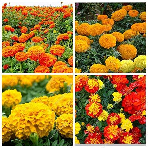 100pcs mixte Chrysanthème Graines Vivace Floraison Marigold Rouge Jaune Orange Rose Rose Graines Longue Tenue de fleurs épanouies