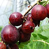 GOOSEBERRY Hinnonmaki Red 3L