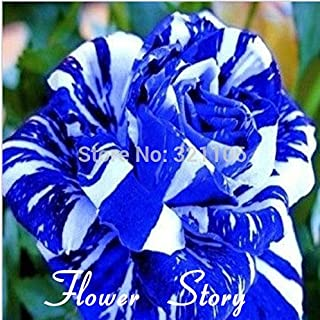 blue dragon rose bush