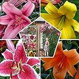 15x Riesen Baum Lilien Zwiebeln Kollektion in 5 Sorten, 3 von jeder Farbe, Mehrjährig und Winterhart Blumenzwiebeln Mix, Mischung aus Holland für Garten und Topf | Zwiebelgröße Ø 14-16cm