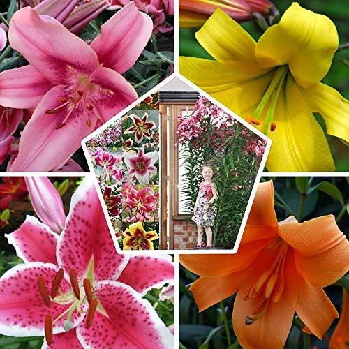 15x Riesen Baum Lilien Kollektion in 5 Sorten, 3 von jeder Farbe, Mehrjährig und Winterhart Blumenzwiebeln Mix, Mischung aus Holland für Garten und Topf | Zwiebelgröße Ø 14-16cm