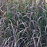 Perennial Farm Marketplace Andropogon g. 'Blackhawks' (Big Bluestem) Ornamental Grass, Size-#1 Container, Burgundy-Black Foliage