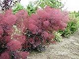 Royal Purple Smoke Bush - Cotinus - Flowering Shrub - 4' Pot
