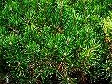 Kugel-Kiefer Pinus mugo 'Mops' Pflanze 15-20cm veredelt Zwerg-Kiefer Bergkiefer