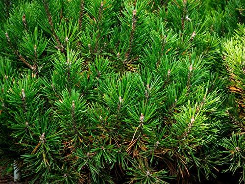 Kugel-Kiefer Pinus mugo \'Mops\' Pflanze 15-20cm veredelt Zwerg-Kiefer Bergkiefer