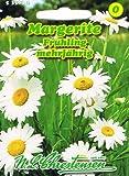 Margerite Frühling weiß 'Chrysantemum leucanthemum' mehrjährig Staude