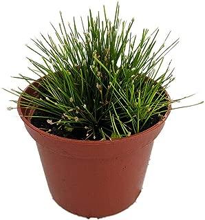 Mini Fiber Optic Grass Isolepis or Scirpus cernuus Fairy Garden Plant 2.5 Inch Pot AG002