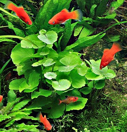 WFW wasserflora Brasilianischer Wassernabel/Hydrocotyle leucocephala im Topf