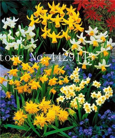 Generic Fresh 50 Pcs Double Petals Narzissenblumensamen zum Pflanzen gemischt 2