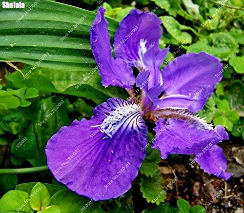 100pcs/sac plat Rare Bamboo Orchid Graines d'intérieur Bonsai pot Blooming fleurs des plantes ornementales pour jardin Plantation