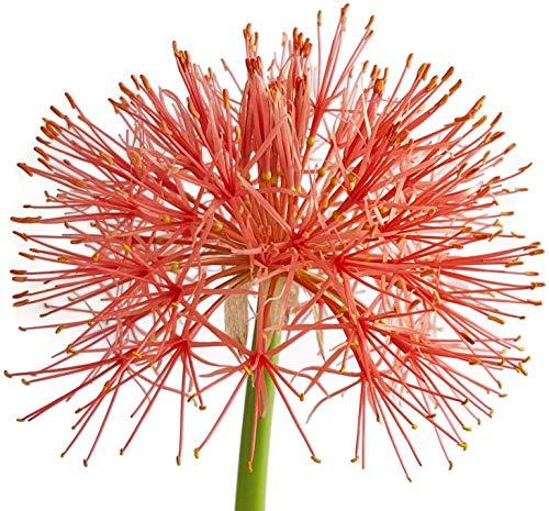 Fangblatt - seltene Blutblume Scadoxus multiflorus, blühfähige Zwiebel aus Südafrika