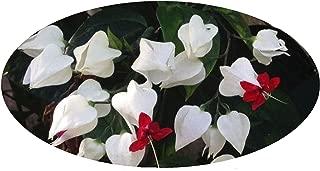 Live White Red Bleeding Heart Vine Plant Clerondendren thomsoniae Plant