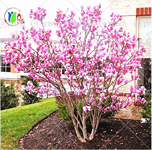 Pinkdose® 30 Teile/beutel Magnolia Baum Magnolia Baum Bonsai Magnolia Blumen Fr Hausgarten Diy Ziersaat Baum