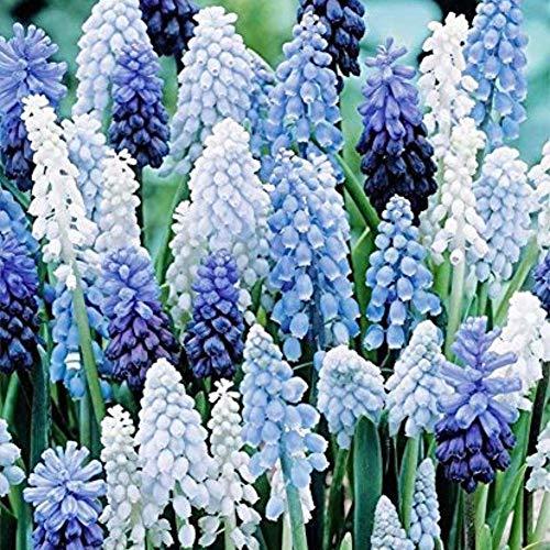 Homemust Traubenhyazinthe Samen 100 Kapseln/Packung, Gartenpflanzensamen für Hausgarten Hof Dekor