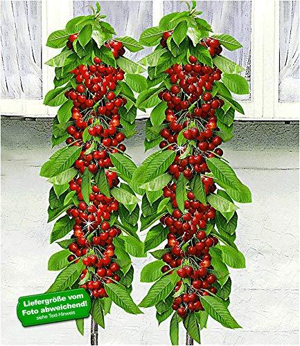 BALDUR-Garten Säulen-Kirschen 'Sylvia® & Helena®', 2 Pflanzen Säulenobst, Kirschbaum winterhart