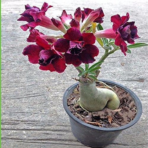 1 Pz esotiche rare petali rosa Desert Rose Seeds Vero Bella Bonsai Fiori in vaso Balcone Adenium Obesum seme per