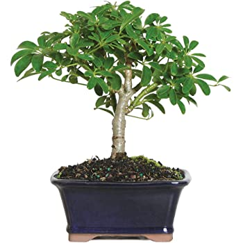 "Brussel's Live Hawaiian Umbrella Indoor Bonsai Tree - 3 Years Old; 5"" to 8"" Tall with Decorative Container"