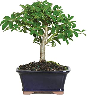 "Brussel's Live Hawaiian Umbrella Indoor Bonsai Tree – 3 Years Old; 5"" to.."