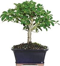 """Brussel's Live Hawaiian Umbrella Indoor Bonsai Tree – 3 Years Old; 5"""" to.."""